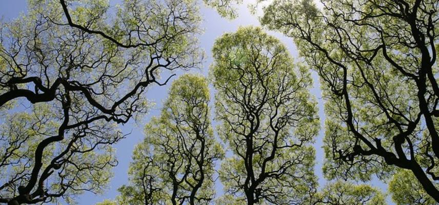 Photo of treetops exhibiting 'crown shyness'
